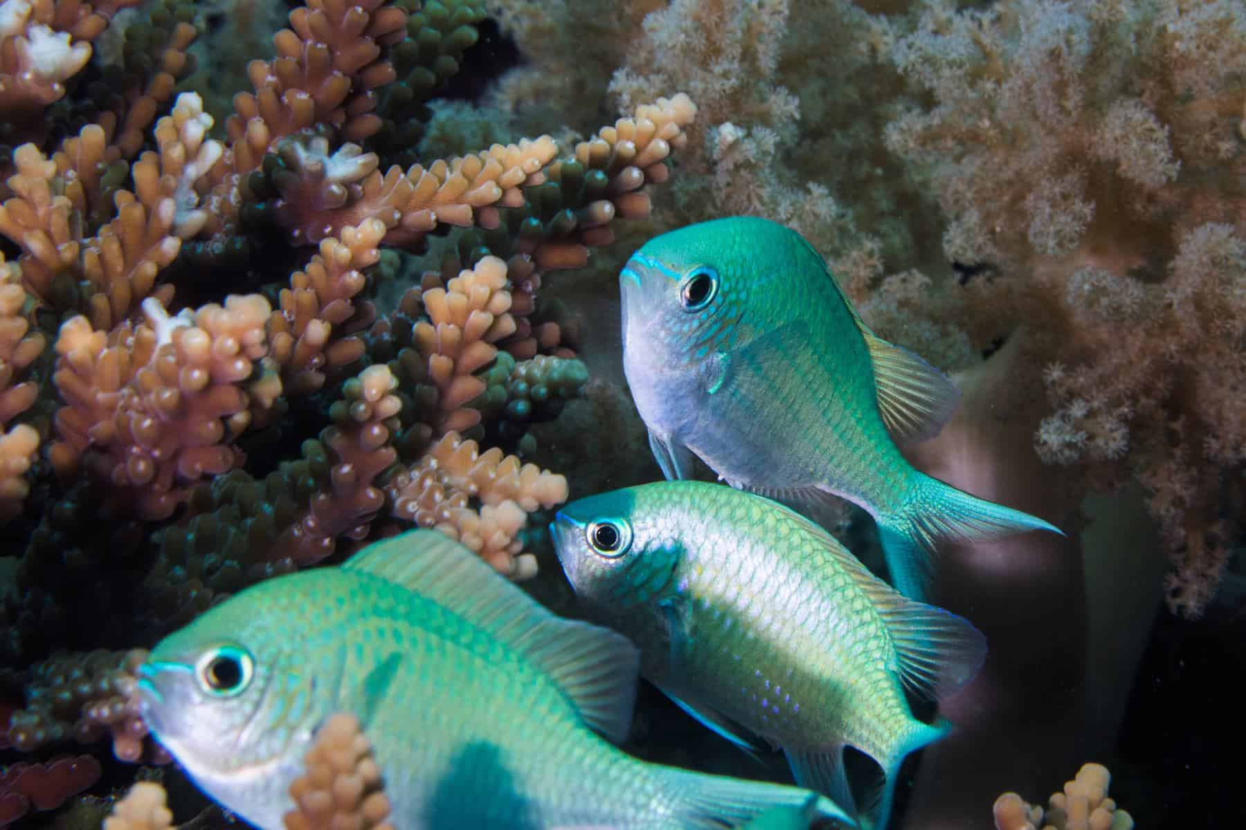 Green Chromis fish in corals