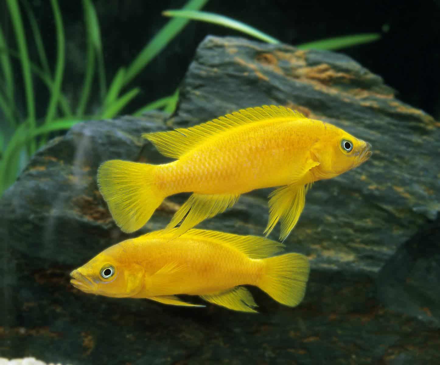 Lemon oscar fish in aquarium