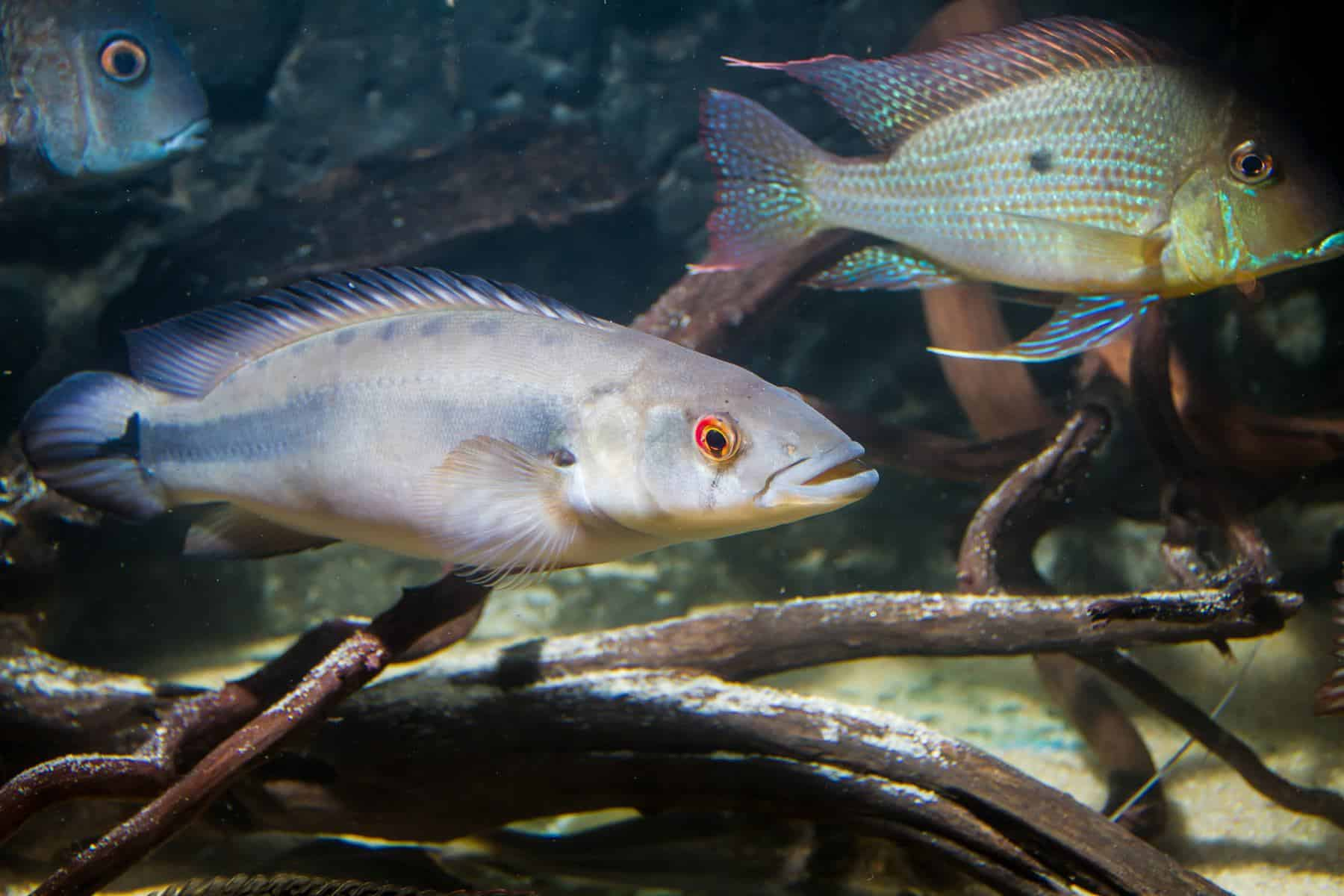 pike cichlid and eartheater cichlid