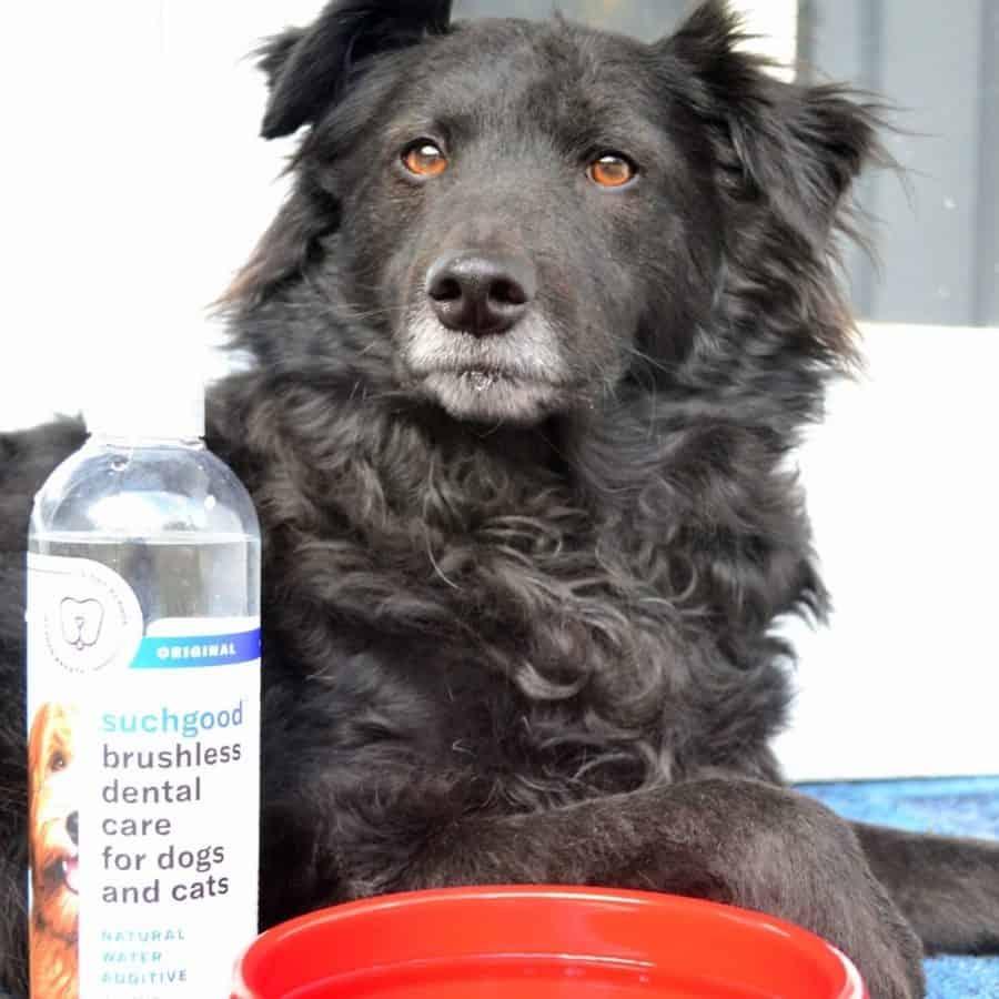 Dog Dental Care with Suchgood #sponsored