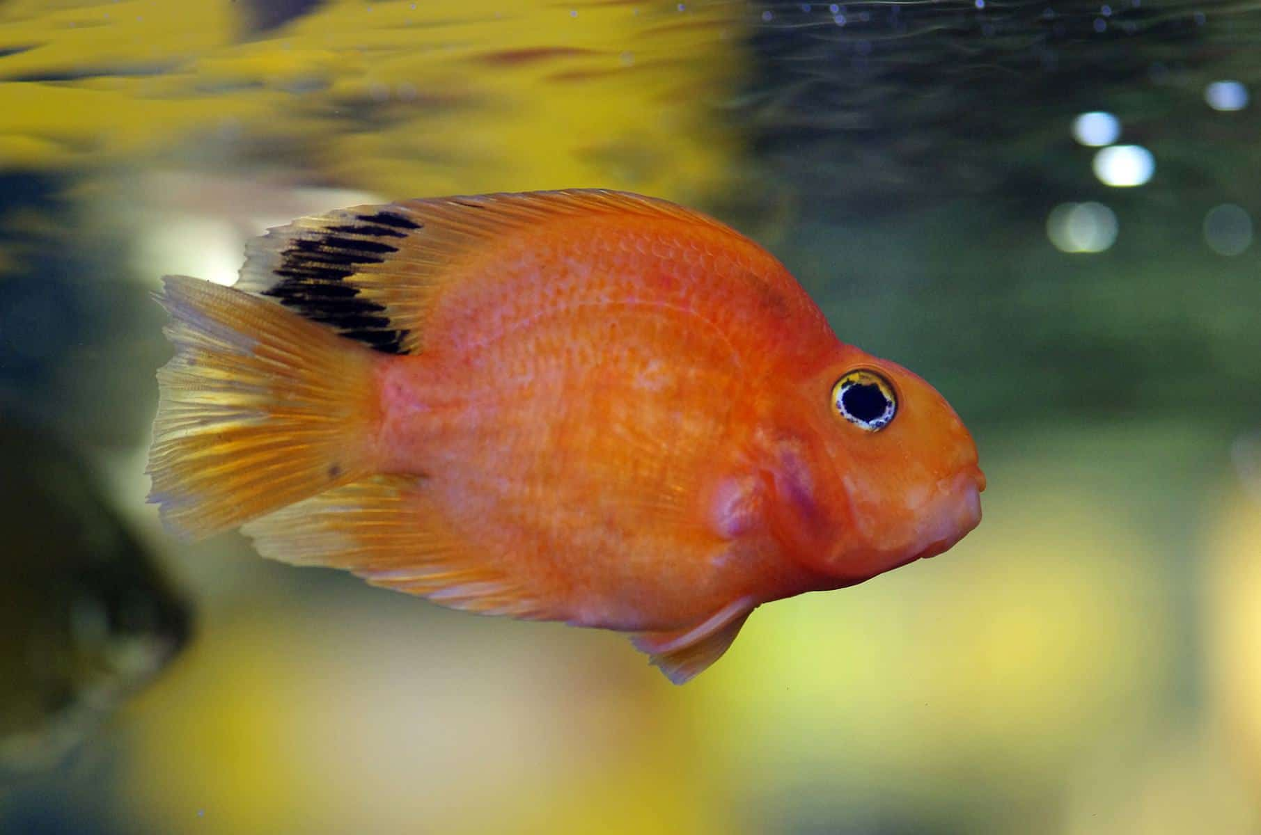 blood parrot fish in aquarium
