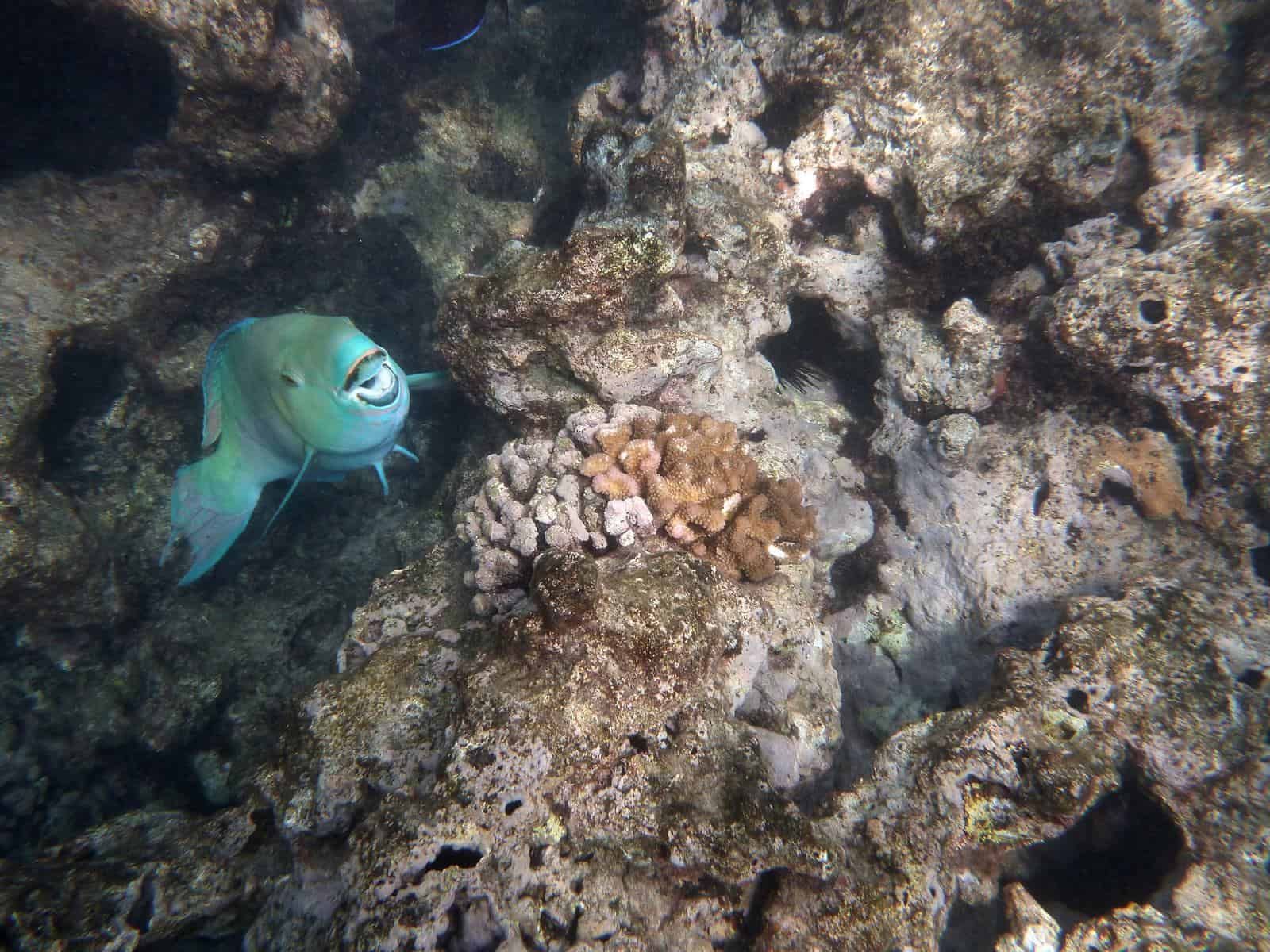 blue parrotfish in corals