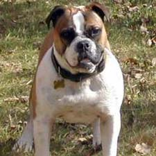 An Olde English Bulldogge.