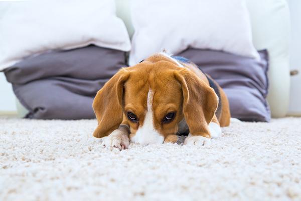 A beagle lying down on a deep carpet. dumbest dog breeds