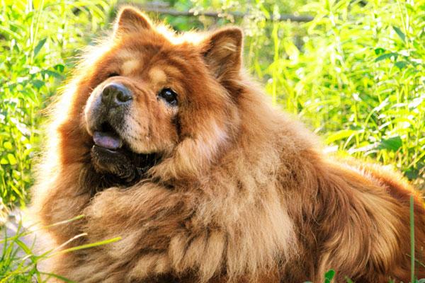 A Chow Chow dog. dumbest dog breeds
