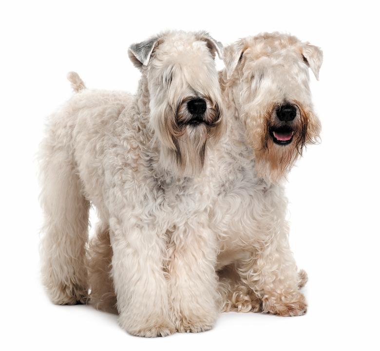 Irish Dog Breeds