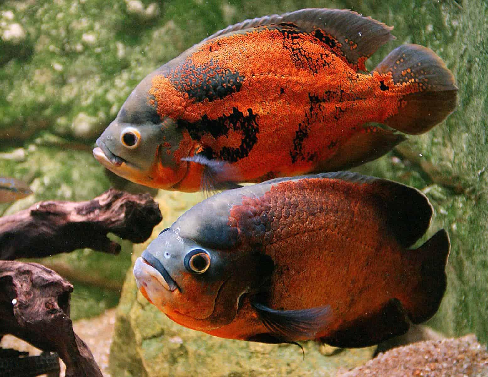 Oscar Fish Tankmates