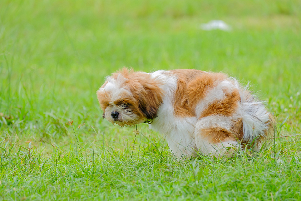 A dog squatting or pooping and peeing in a grass field.