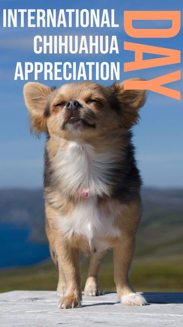 International Chihuahua Appreciation Day