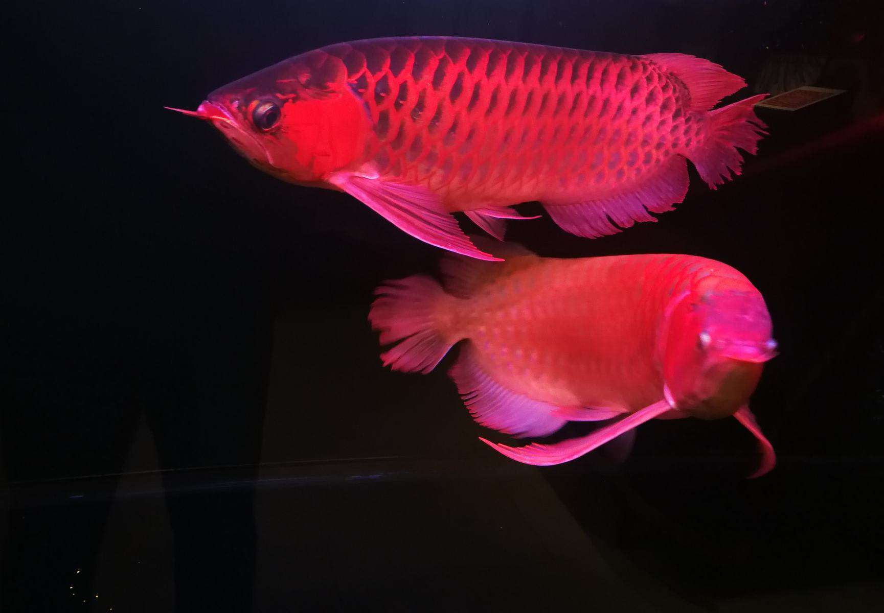 red arowana breeding