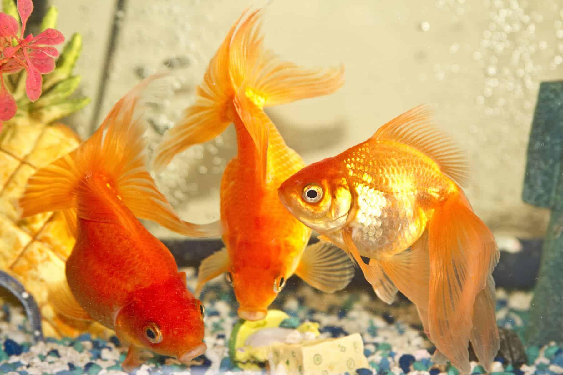 Goldfish Tankmates In Aquarium