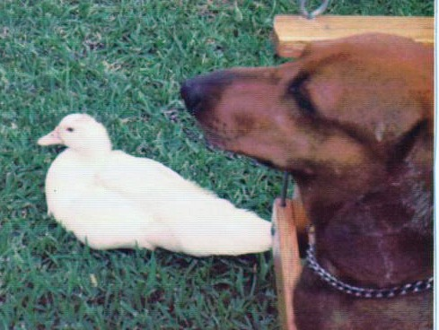 duck and dachshund