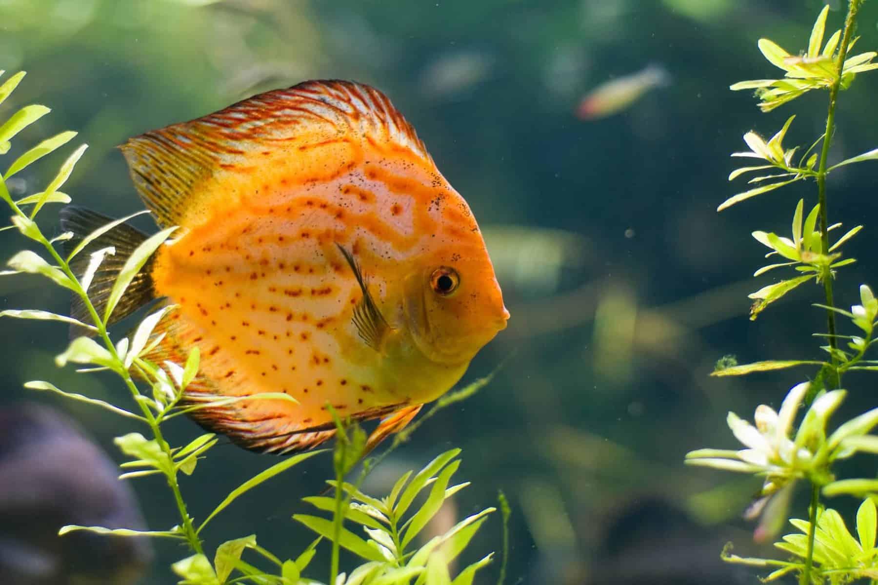 Discus Fish In Aquarium