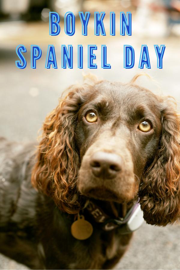 Boykin Spaniel Day September 1