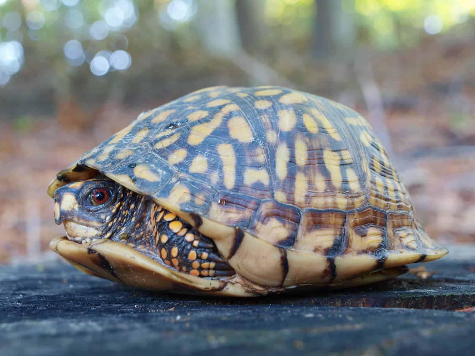 Eastern Box Tortoise