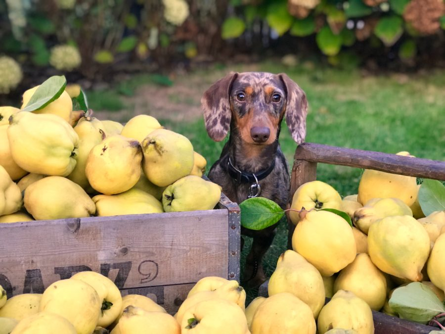 fruits safe for dogs to eat