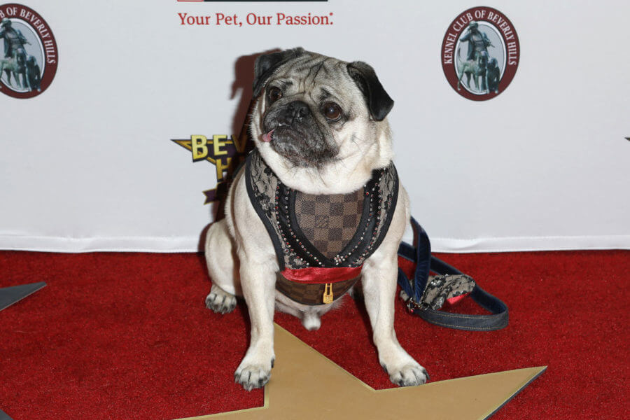 Doug the Pug at the Beverly Hills Dog Show Presented by Purina at the LA County Fairplex on February 29, 2020 in Pomona, CA — Photo by Jean_Nelson